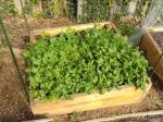 Asian and salad greens