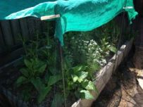 Spinach protected from the hot sun by shade cloth