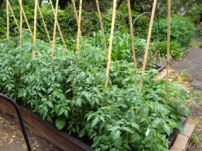 Healthy looking tomato plants