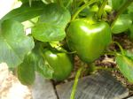 Peppers - members of the same family as tomatoes