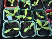 Calendula seedlings starting to grow