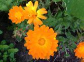 Calendula flowers encourage the good bugs