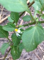 Deadly nightshade develops small black berries that are poisonous