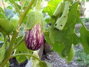 Italian eggplant - beautiful and tasty