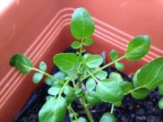 Young watercress plant nearly ready for picking