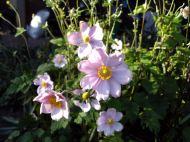 Wind Anemones blooming in autumn
