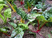 Red and yellow silver beet after a good picking