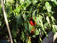 Red peppers still ripening