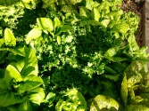 Lettuces grow well through the winter