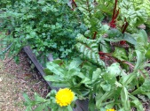 Self-sown parsley and calendula keeping company with the silver beet