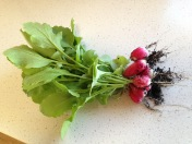 Radishes grow well through the winter