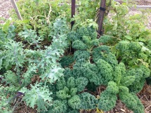 Red and curly kale - it could become rabbit food