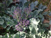 Purple Sprouting broccoli takes longer to mature than the green variety